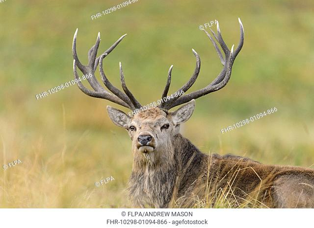 Red Deer (Cervus elaphus) mature stag, resting on grass, during rutting season, Bradgate Park, Leicestershire, England, October