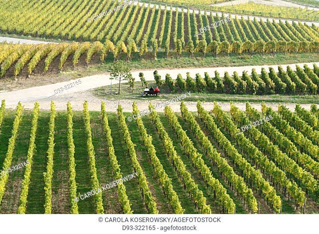 Germany, Hesse, Rheingau region, Rüdesheim am Rhein, vineyards, autumn
