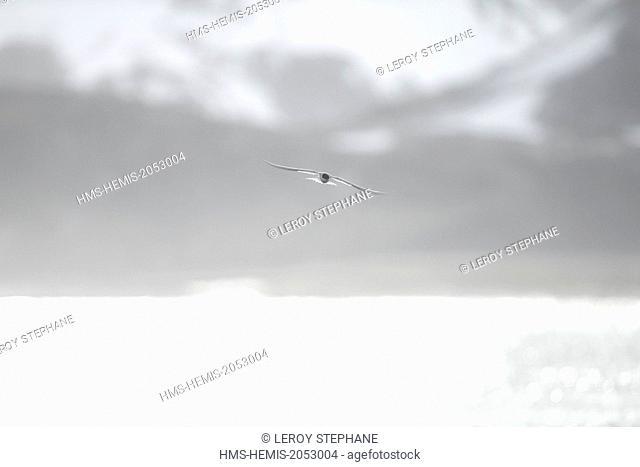 South Atlantic Ocean, South Georgia Island, arctic tern (Sterna paradisaea), flying