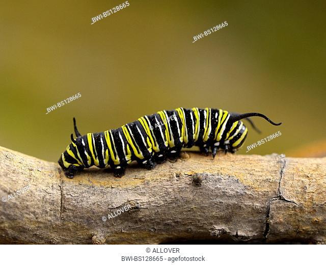 monarch butterfly, milkweed (Danaus plexippus), caterpillar