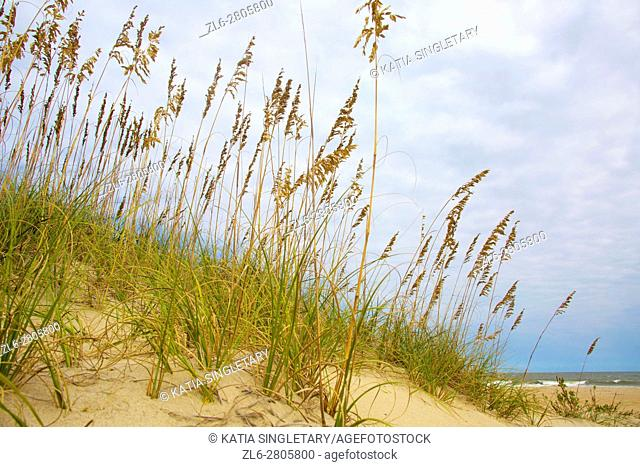 American dune Ammophila grass, is a coastal America tall grass that grows at the beach and more specifically on Sand Dunes