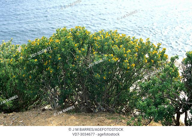 Tree medick or alfalfa arborea (Medicago arborea) is a shrub native to some places to Mediterranean coastline