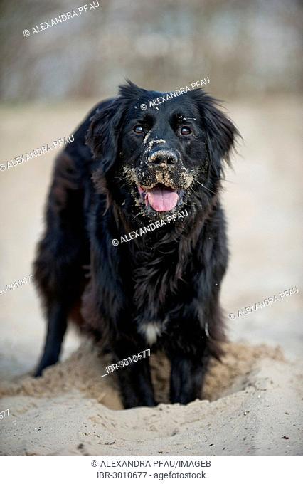 Black mixed breed dog digging a hole