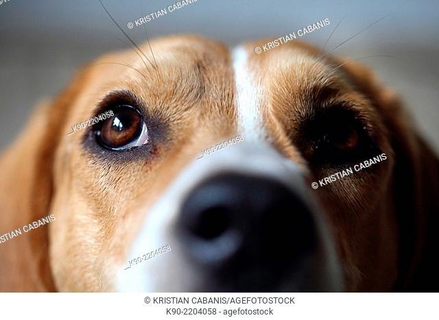 Close-up of the snout of a Tricolor Beagle, Berlin, Germany, Europe
