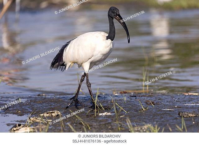 Sacred Ibis (Threskiornis aethiopicus). Adult walking on mud. Ziway Lake, Ethiopia