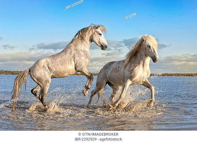 Camargue horses, stallions fighting in the water, Bouches du Rhône, France, Europe
