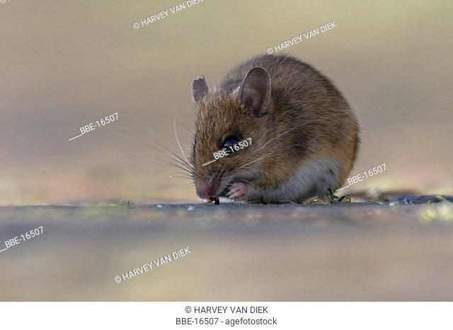 Wood Mouse feeding