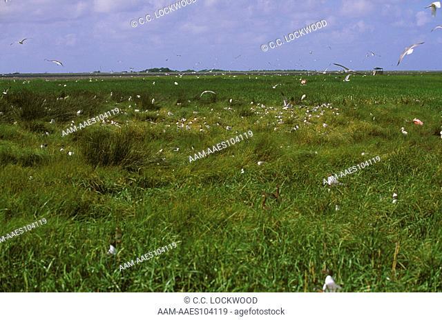 Rookery on Rabbit Island, Gulls, Egrets, Herons, Spoonbills, Louisiana, Cameron Parish