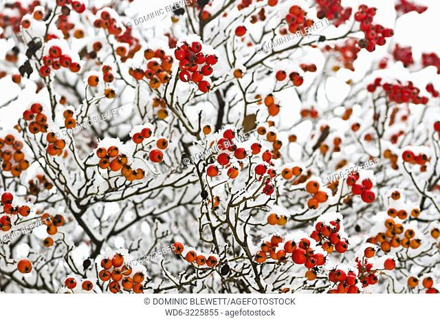 Snow-covered red buds after a heavy snowfall during winter in Berlin, Germany