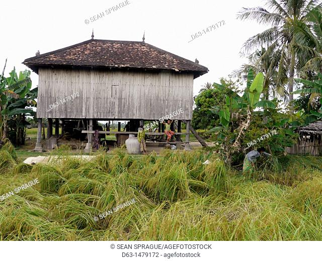 CAMBODIA. Farmhouse with rice growing in foreground  Climate change has impacted farmers in Prek Pi village, Srer Chea commune  Although they say they do not...