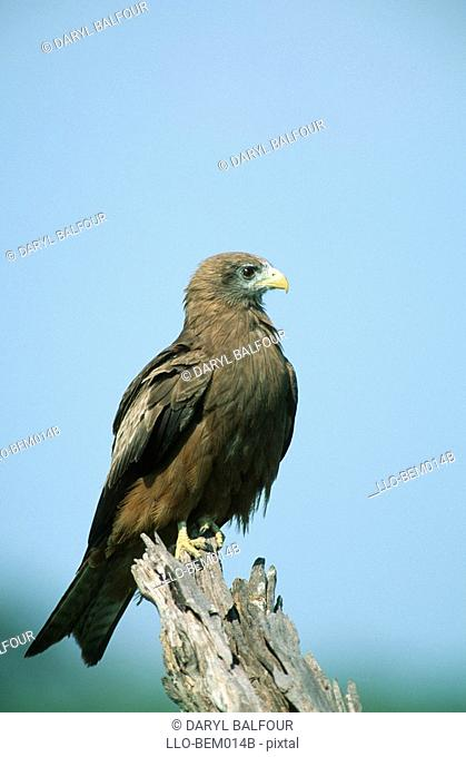 Yellow-billed Kite Milvus aegyptius Perched on a Tree Stump  Savuti, Chobe National Park, Botswana