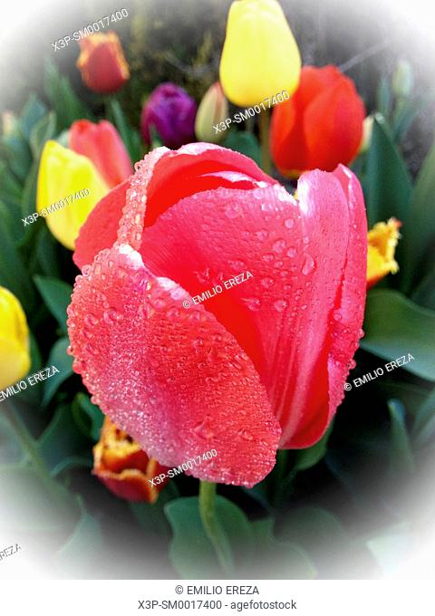 Droplets on tulip flowers
