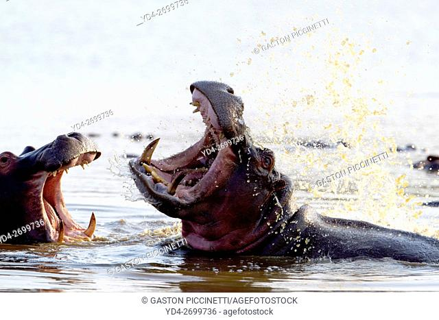 Hippopotamus (Hippopotamus amphibius), fighting, Kruger National Park, South Africa