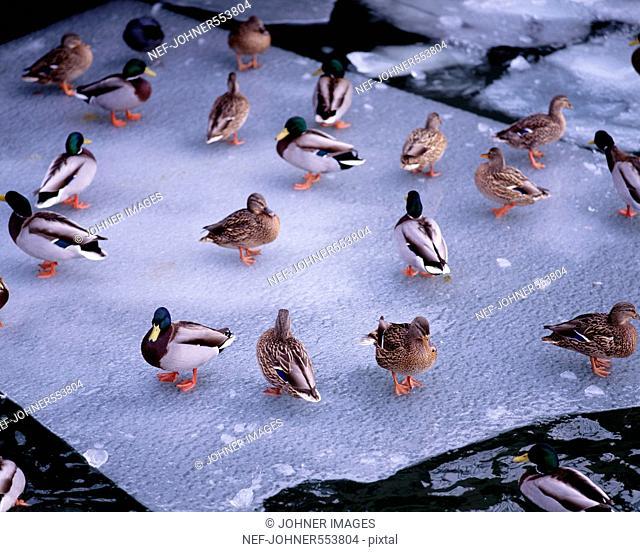 Wild ducks on ice sheet