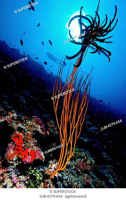 A whip coral Ctenocella or Ellisella sp., with a crinoid stuck on top, Felidhu Atoll, Maldives. Whip corals are also known as sea whips or gorgonians