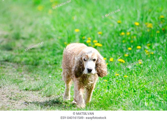 Cocker spaniel dog walking on the green field with grass and flowers