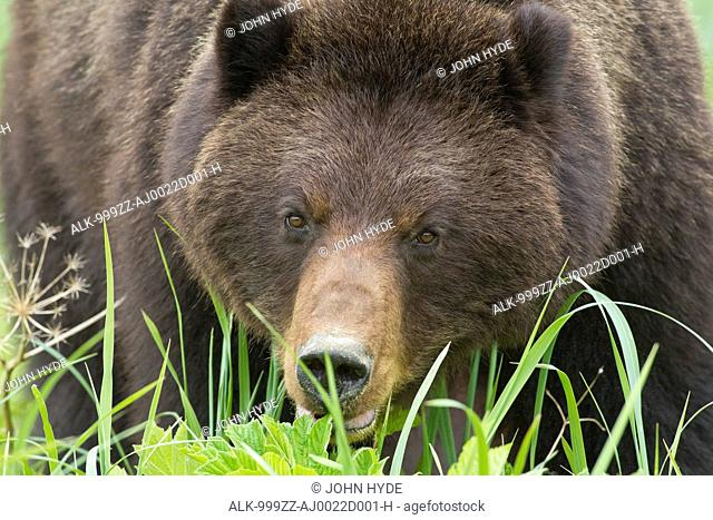 Close up of an adult female Brown bear foraging on sedge and beach grass in an estuary on Admiralty Island, Pack Creek, Tongass National Forest