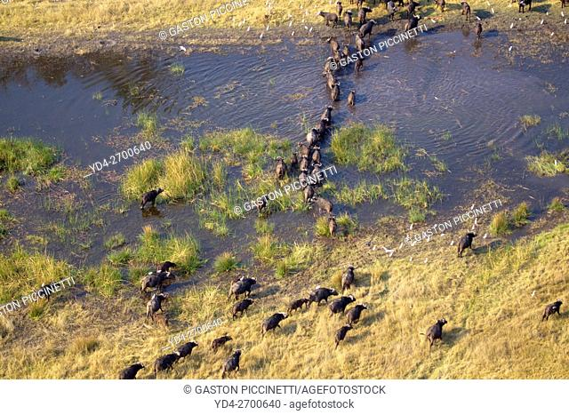 Aerial view of African buffalo or Cape buffalos group (Syncerus caffer), croosing the floodplain. Okawango Delta, Botswana