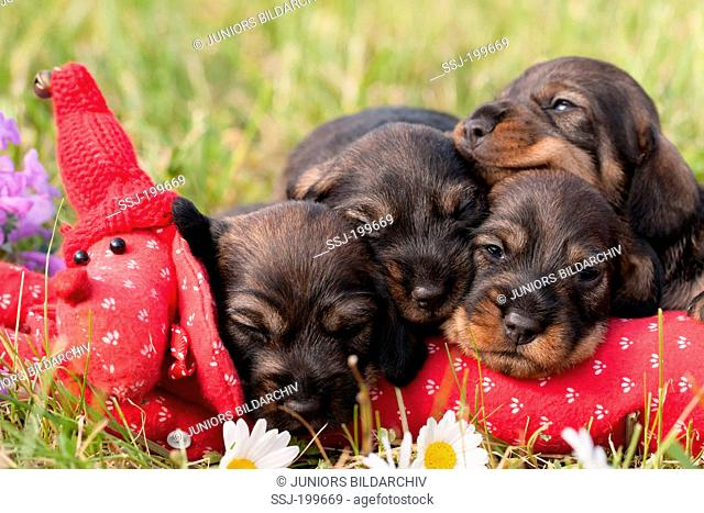 Wire-haired Dachshund. Four sleepy puppies on a meadow with a red toy Dachshund. Germany