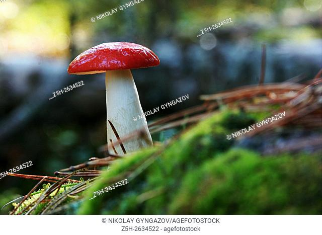 Mushrooms of Western Siberia