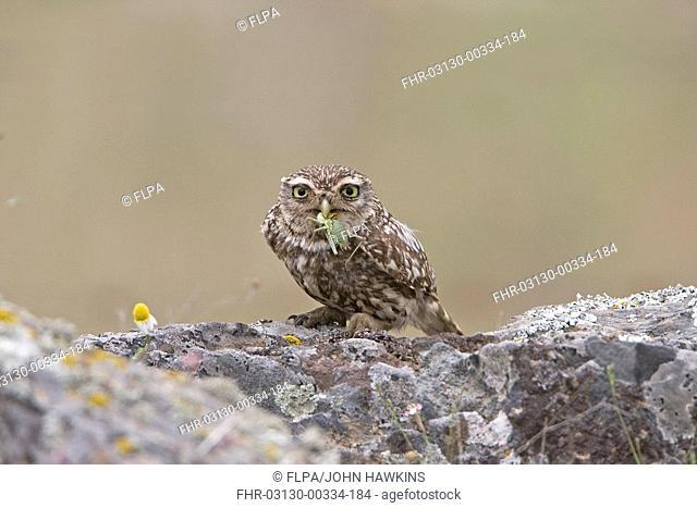 Little Owl Athene noctua adult, feeding on bush-cricket, standing on rocks, Extremadura, Spain, may