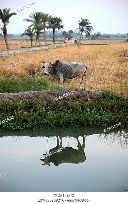 Cows grazing in the rice fields in Sundarbans, West Bengal, India
