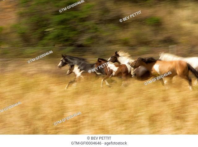 Herd of mustang paint horses running in open field