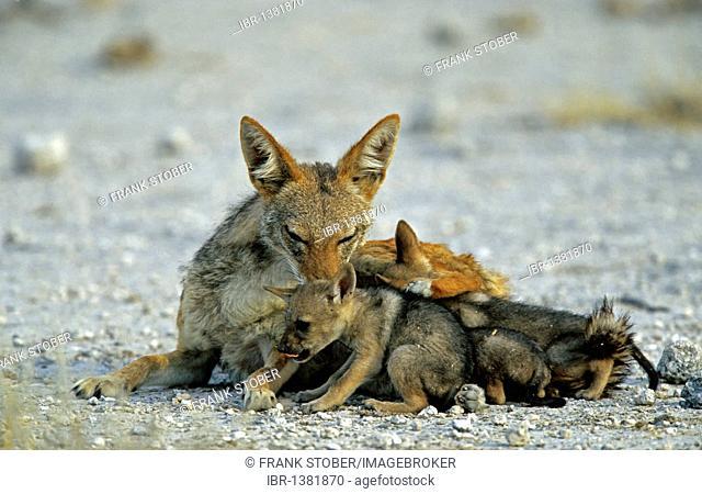 Black-backed jackal (Canis mesomelas) with cubs, Etosha, Namibia, Africa