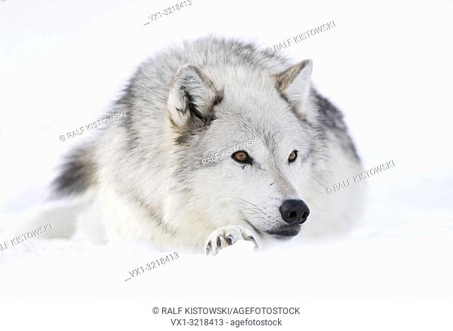 Gray Wolf / Grauwolf ( Canis lupus) in winter, lying, resting in snow, amber coloured eyes, relaxed, looks cute, Yellowstone area, Montana, USA