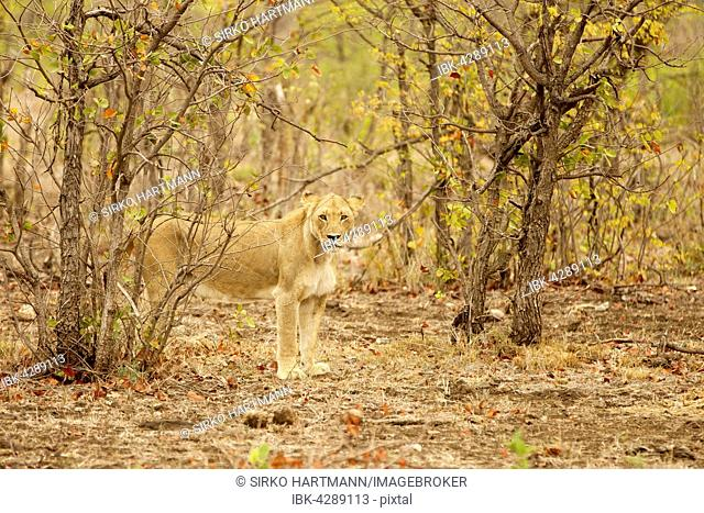 Lioness (Panthera Leo) standing between bushes, camouflaged, Kruger National Park, South Africa