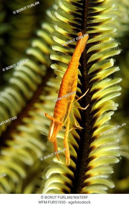 Crinoid Commensal Shrimp, Periclimenes amboinensis, Alor, Lesser Sunda Islands, Indo-Pacific, Indonesia