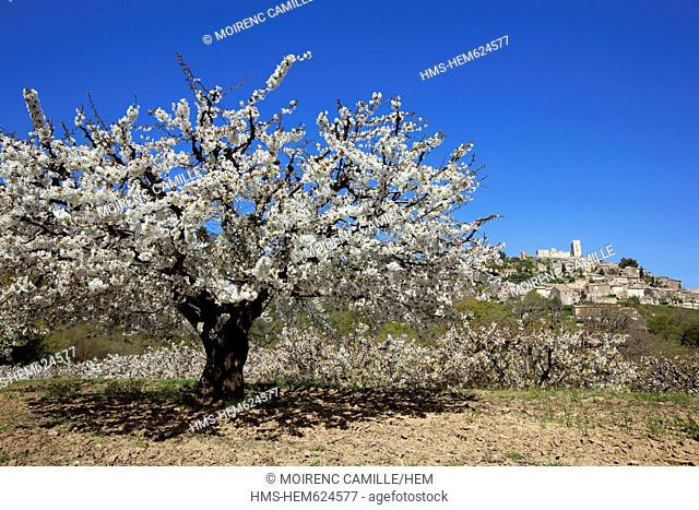 France, Vaucluse, Parc Naturel Regional du Luberon Natural Regional Park of Luberon, Lacoste, cherry blossoms, in the background the ruins of the castle of...