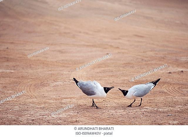 Laughing gulls (Leucophaeus atricilla), Chile