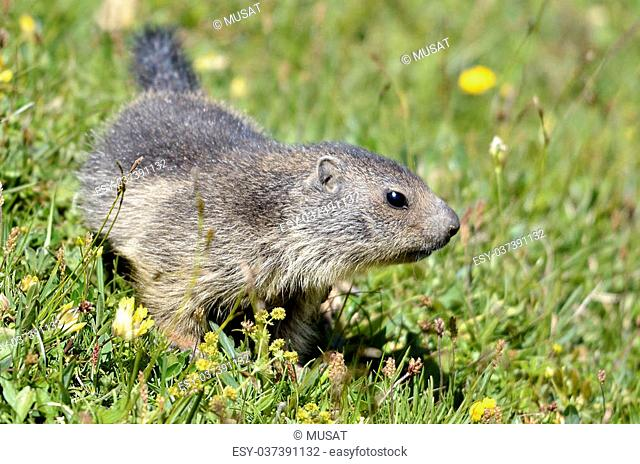 Close up of marmots head Stock Photos and Images   age fotostock