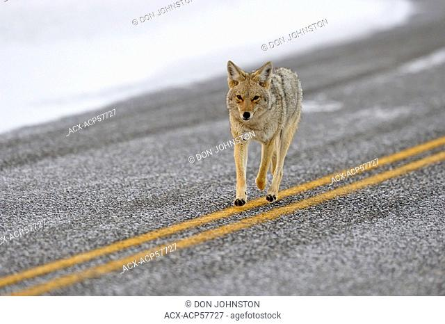 Coyote Canis latrans Trotting along Park Road, Yellowstone NP, Wyoming, USA