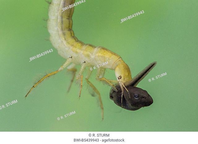 Great diving beetle (Dytiscus marginalis), larva eating a polliwog, Germany, Bavaria
