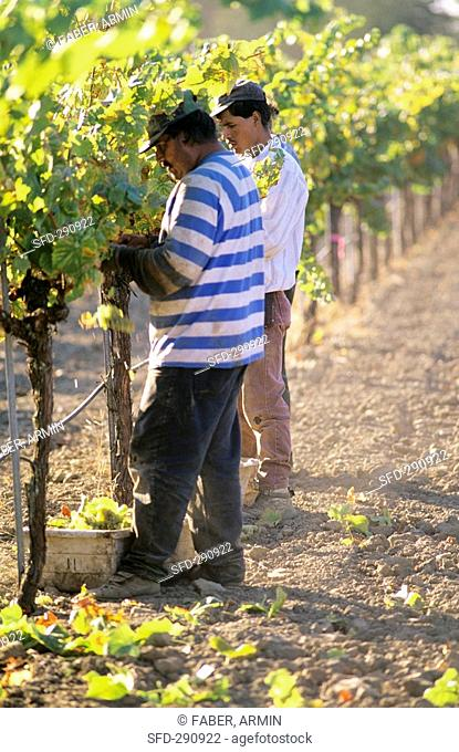 Two workers picking grapes in California, USA