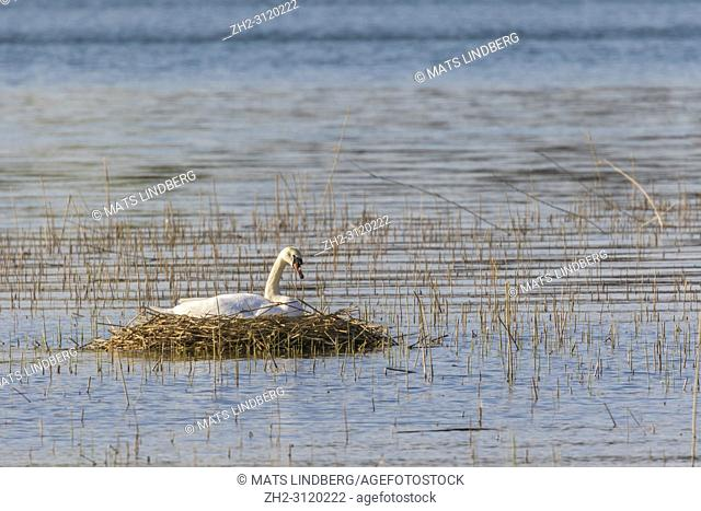 Brooding mute Swan on nest out on a lake, Södermanland, Sweden