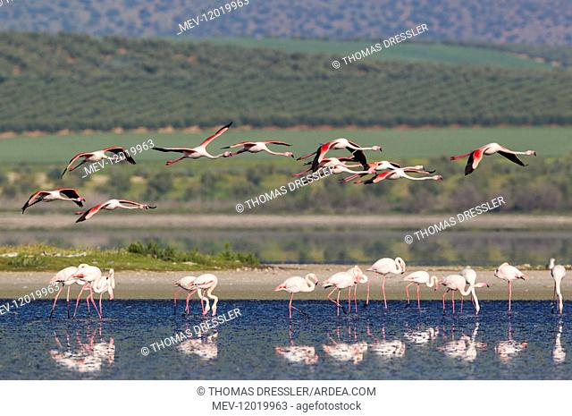 Greater Flamingo - at the Laguna de Fuente de Piedra near the town of Antequera - this is the largest natural lake in Andalusia and Europe\'s only inland...