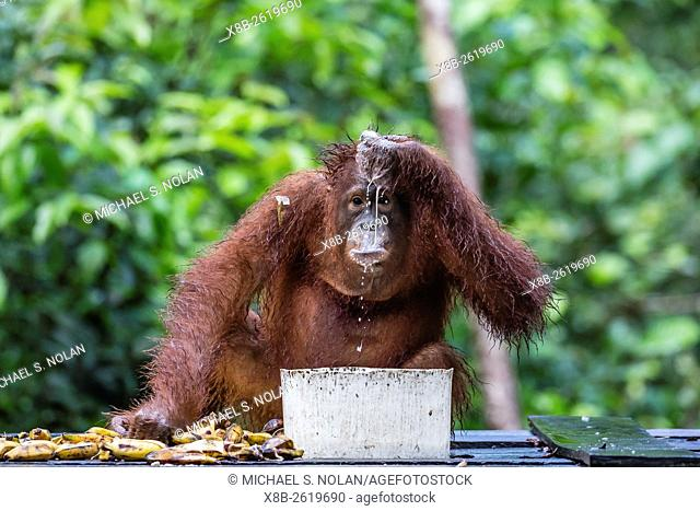 Reintroduced adolescent orangutan, Pongo pygmaeus, Camp Leakey, Tanjung Puting National Park, Borneo, Indonesia
