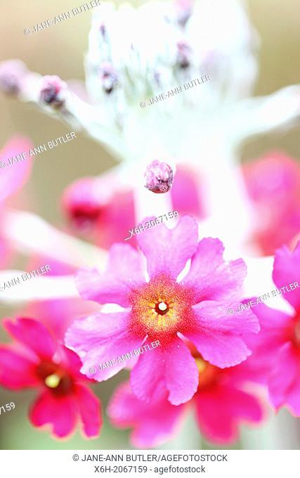 bewitching dark pink candelabra primrose