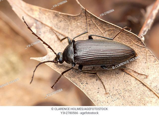 A Darkling Beetle (Capnochroa fuliginosa) perches on a dead leaf