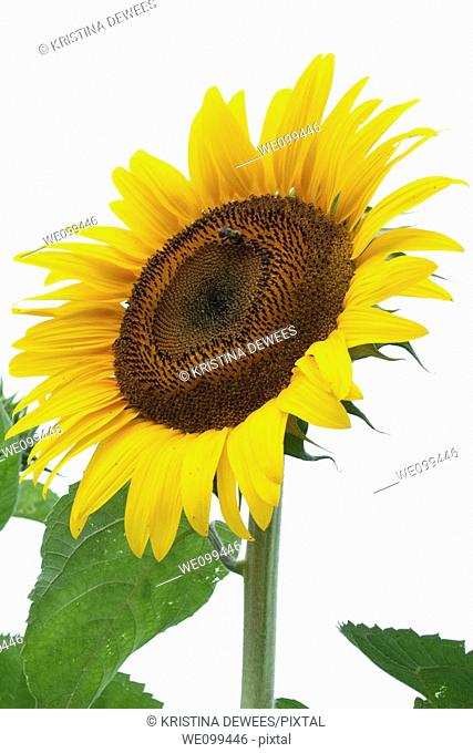 A tall yellow Sunflower with a single bumblebee