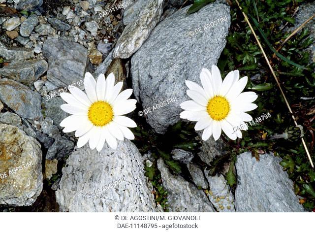 False aster (Aster bellidiastrum), Asteraceae