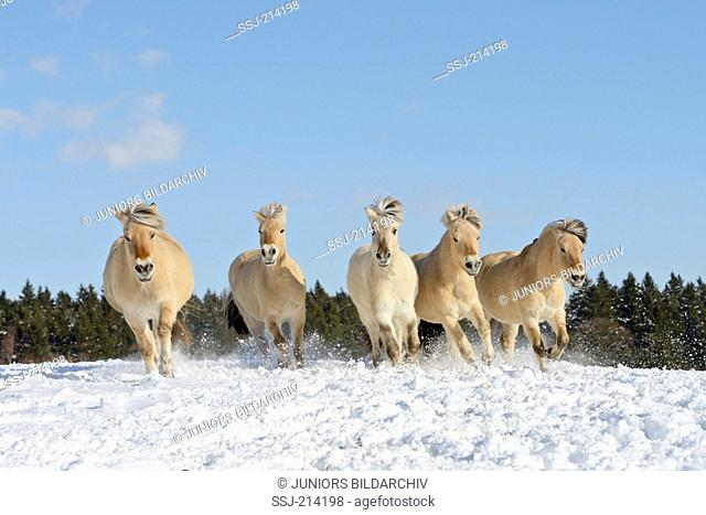 Norwegian Fjord Horse. Five adults galloping in snow. Germany