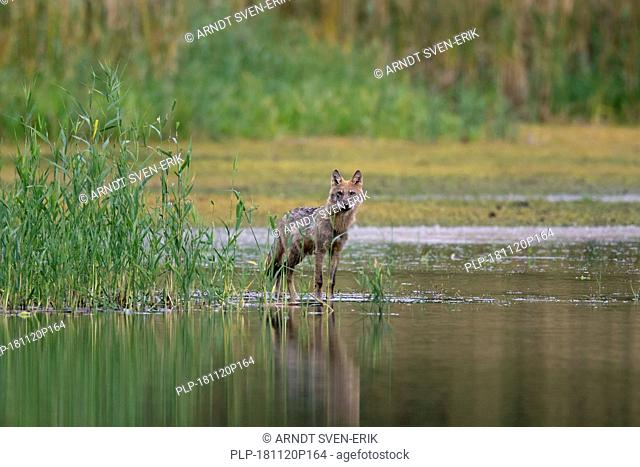 Curious solitary European gray wolf / wild grey wolf (Canis lupus) foraging along lake shore, Saxony / Sachsen, Germany