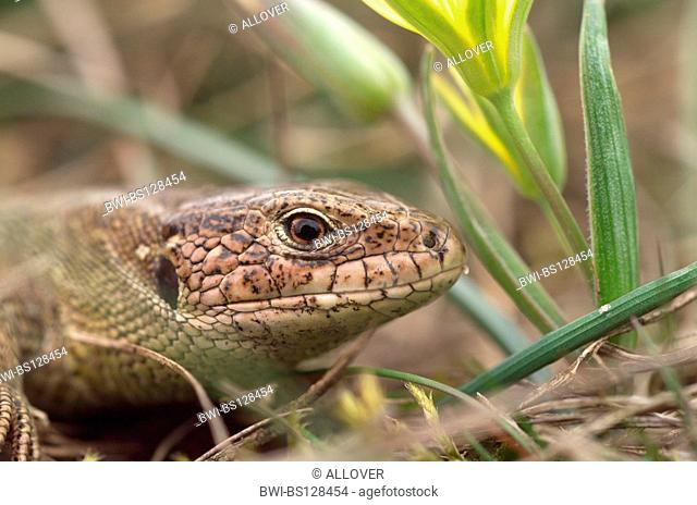 sand lizard (Lacerta agilis), portrait