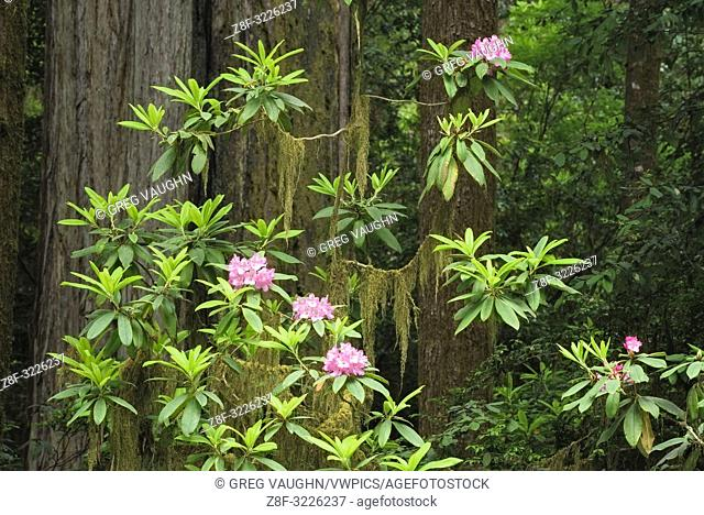 Rhododendron, moss, and and redwood trees; Howland Hill Road, Jedediah Smith Redwoods State Park, Calfornia