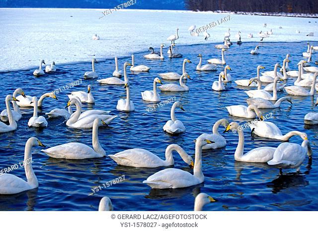 Whooper Swan, cygnus cygnus, Group of Adults on Frozen Lake, Hokkaido Island in Japan