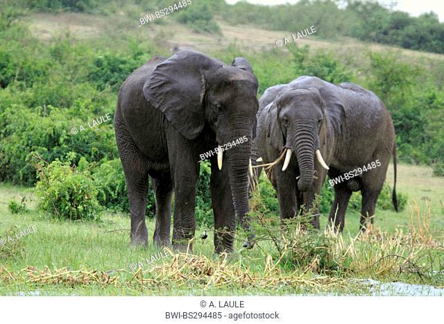 African elephant (Loxodonta africana), three elephants feeding at the river bank, Uganda, Queen Elizabeth National Park, Kazinga Channel